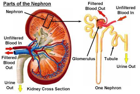 part of the nephron